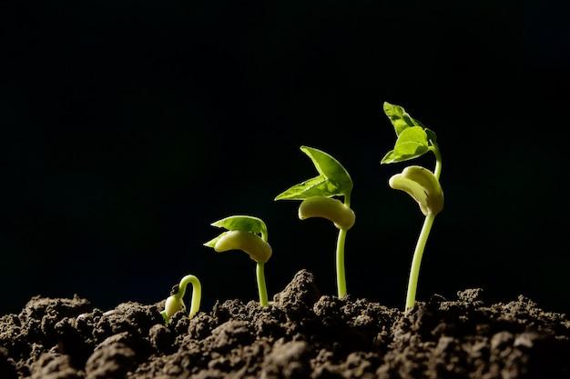 黒の背景に成長ステップグリーン若い豆