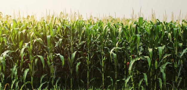 朝の光のトウモロコシ畑