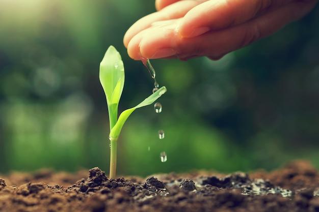 Рука поливает молодую кукурузу в саду