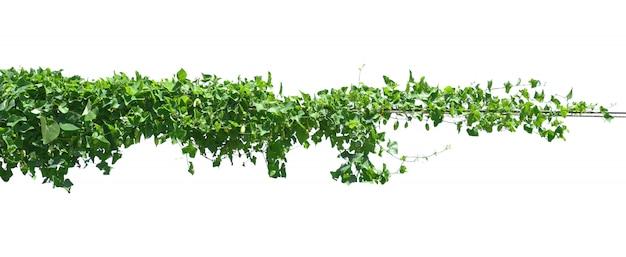 緑の葉ツタ植物を白で隔離します。