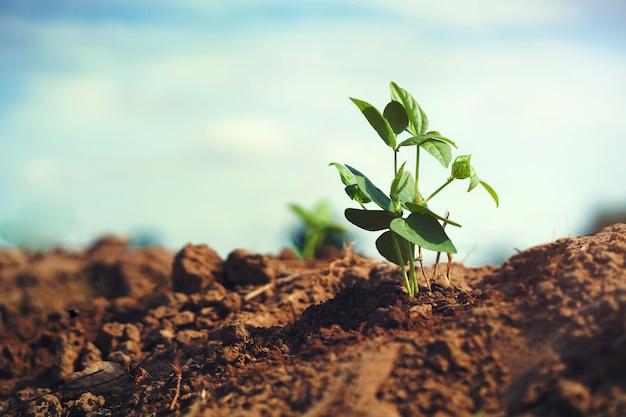 太陽の光と庭の若い豆の木