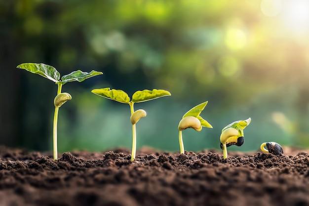 緑の葉の背景を持つ農場での大豆の成長。植物の播種成長ステップコンセプト
