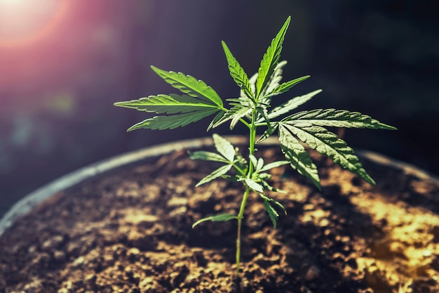 Молодое дерево конопли на горшок с солнцем. концептуальная медицина