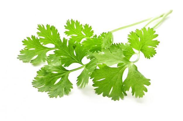 Букет из листьев кориандра, изолированные на белой поверхности
