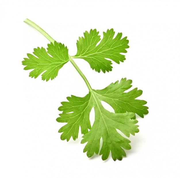 Зеленые листья кориандра, изолированные на белой поверхности