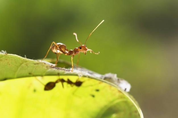 赤い蟻が緑の葉を歩く