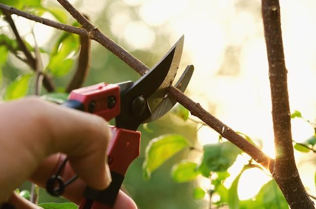 Ручное обрезка дерева и обрезка в саду с фоном заката