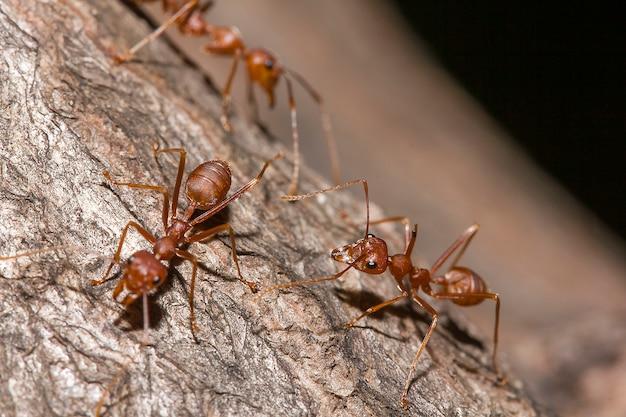 木の上の赤アリ