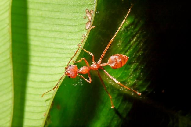 赤い蟻は自然の中で葉の上にあります。