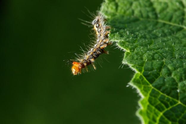 毛虫は新鮮な葉を熱心に食べています。
