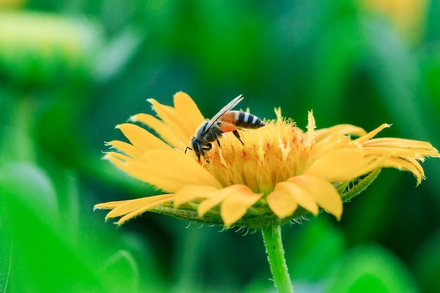 Пчелы на желтые цветы в природе цветут.