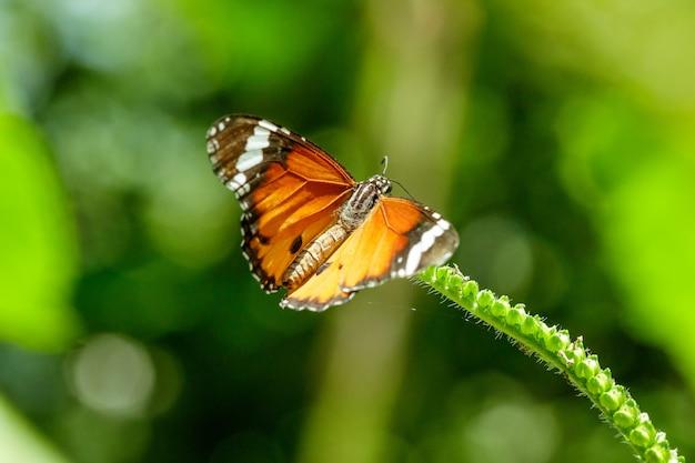 白い花の上の一般的な虎は一般的な蝶です。