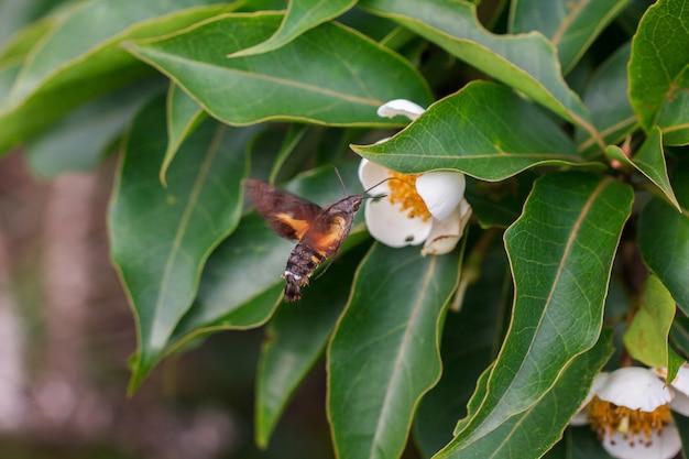 Пчелы летят с белыми цветами, чтобы найти нектар из пыльцы