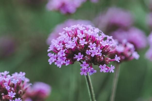 Вербена цветет и прекрасна в сезон дождей.