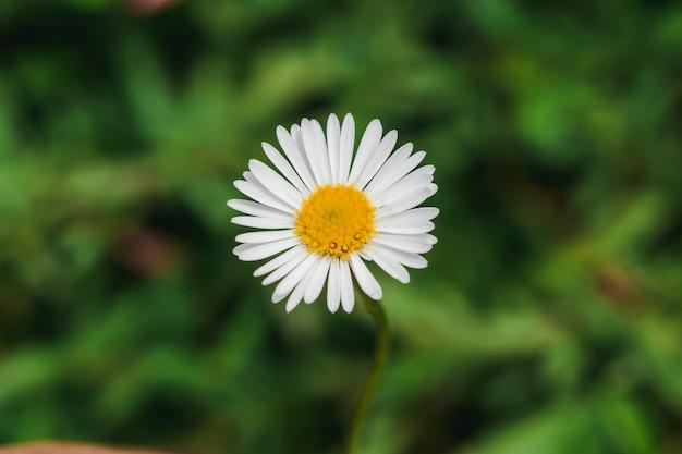 Маргаритка цветущая и красивая по своей природе. это макросъемка