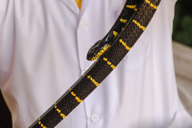 マレークレイトは男の手にあります。体の長さに沿って黒と白のストライプを持つヘビ。