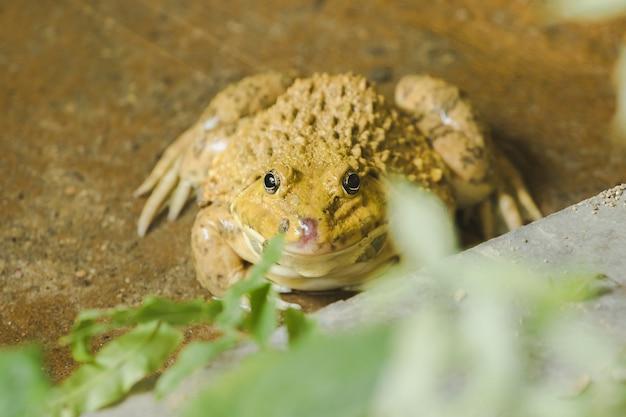 両生類の動物である池の地面にカエル