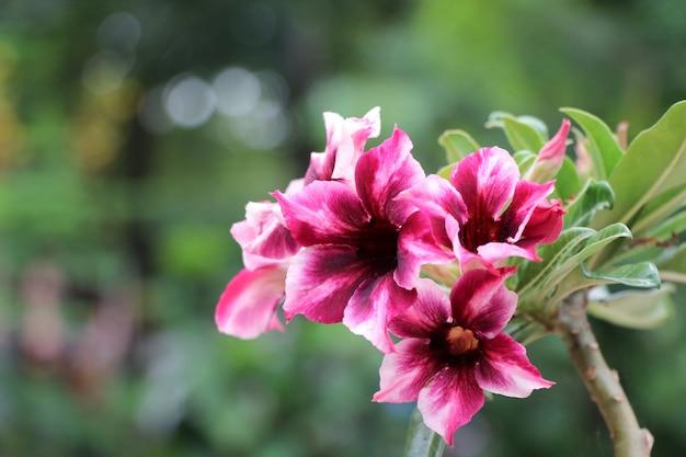 明るい砂漠の花は赤とピンクの花びらが庭に咲く