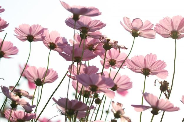 Мягкие лепестки цветов космос с оттенком ветра сепия красивый в природе утро