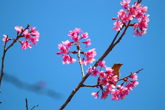 Дикая гималайская вишня красивые цветы