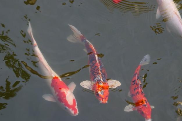 Необычные кости рыба плавание группы в поверхности пруда отдыха в саду