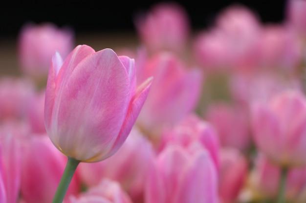 Розовые тюльпаны закрыли красивый лепесток в зимний сезон размытым