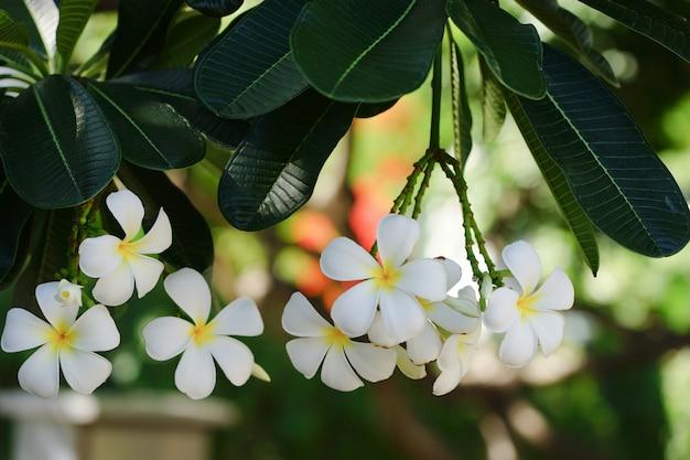 Белые цветы плюмерии