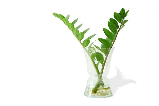 ザンジバルの宝石は神聖な木です。家の中やオフィスの中で木として飾るのに適しています