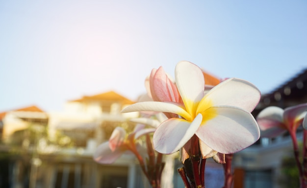 夕日と緑の床にプルメリアの花