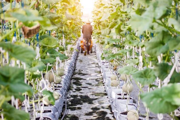 温室メロン農場でメロンを収穫する労働者
