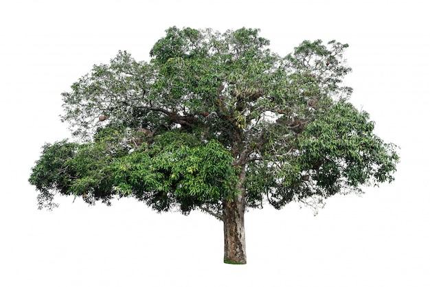 白い背景にある緑の葉の美しい木