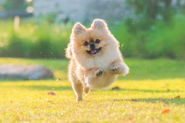Симпатичные щенки поморской смешанной породы пекинская собака бегают по траве от счастья