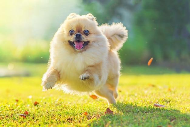 かわいい子犬ポメラニアンの混合された品種ペキニーズ犬は幸せで草の上を走る