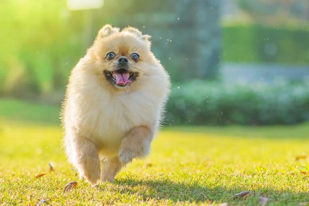 かわいい子犬ポメラニアン混合品種ペキニーズ犬は幸せで芝生の上を走る