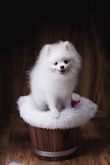 木製のバケツに座っているかわいい子犬ポメラニアン犬