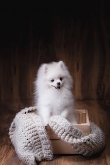 Симпатичные щенки поморская собака сидит на деревянном ведре