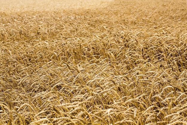 畑に小麦の穂。小麦の穂パターン。