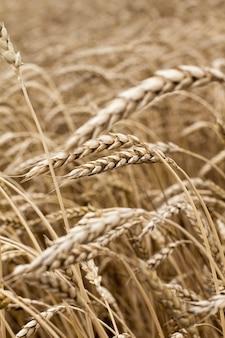 Колоски пшеницы в поле крупным планом.