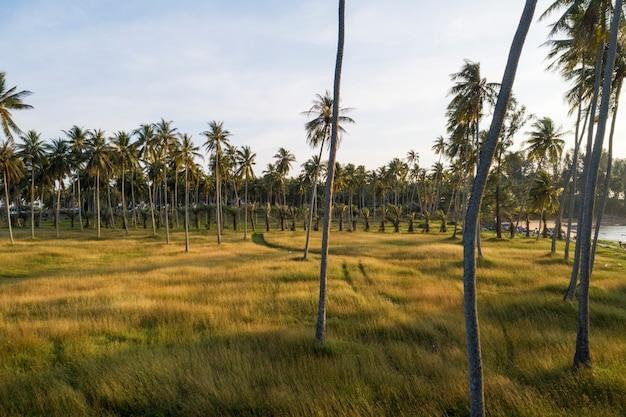 Вид с воздуха от дрон кокосовых пальм