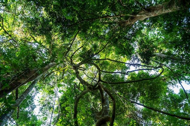 タイアナの熱帯雨林の天蓋からぶら下がっているリアナと日光。