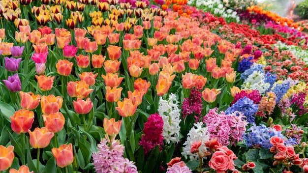 春、美しい自然の背景の庭の自然の中で美しい色とりどりのチューリップ