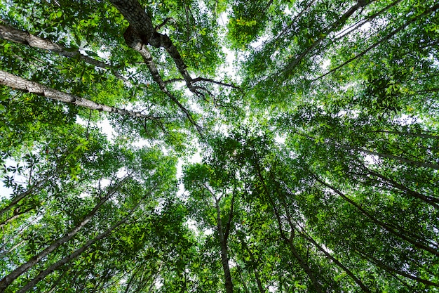 森の成長木。自然グリーンマングローブ林の背景