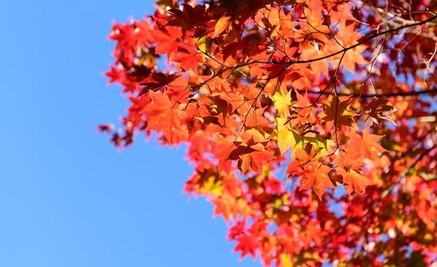 青い空、自然の葉に赤いメープルの葉