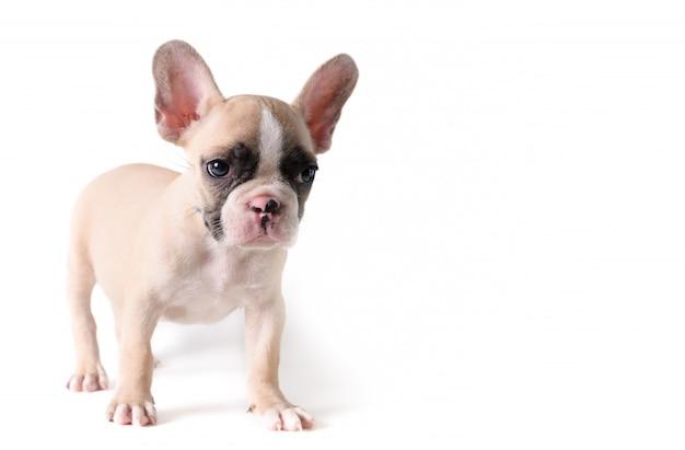 かわいいフレンチブルドッグ子犬立っている分離