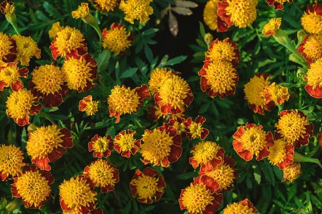 マンジュギクパチュラフランスマリーゴールドの花