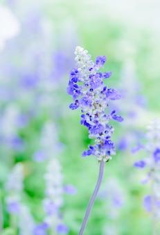 庭のラベンダーの花、