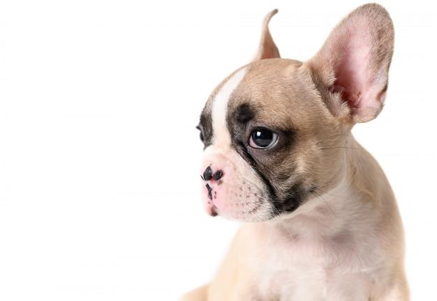かわいいフレンチブルドッグ子犬の側面図