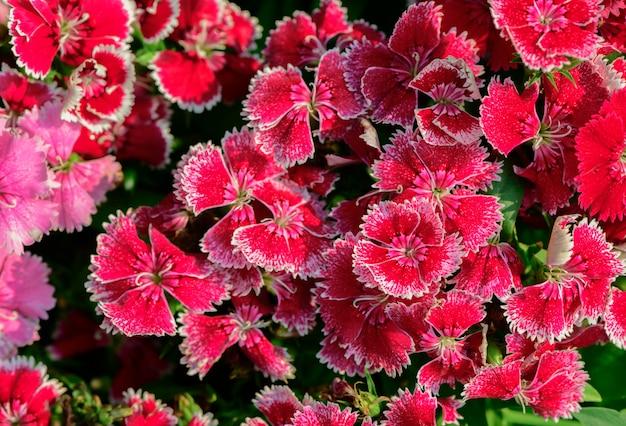 庭の美しい赤いディアンサスの花