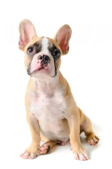 座っているかわいいフレンチブルドッグ子犬