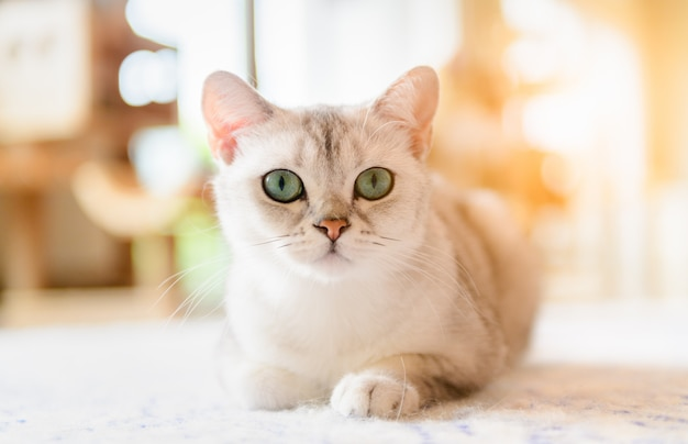 かわいい茶色のスコティッシュフォールド猫がマットの上に座っています。
